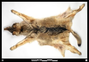 New York Wolf Pelt 2001