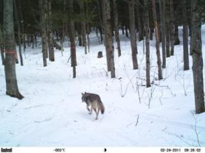 Algonquin Highlands,  Ontario Wolf