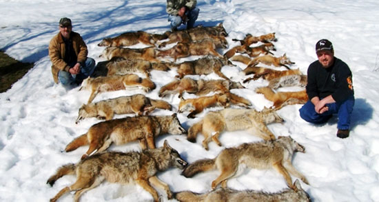 Dead Coyotes after a Hunt
