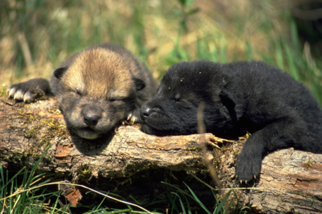 more-puppies-all-about-wolves